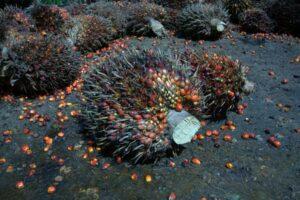 Früchte der Ölpalme. Bei meiner palmölfreien Seife werden diese nicht verwendet.